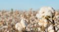champ de coton en fleur
