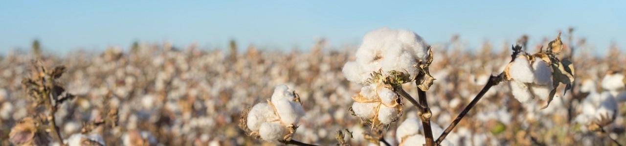 Connu Le coton : culture, transformation et utilisation | Würth MODYF CJ75