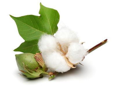Fleur de coton et capsules